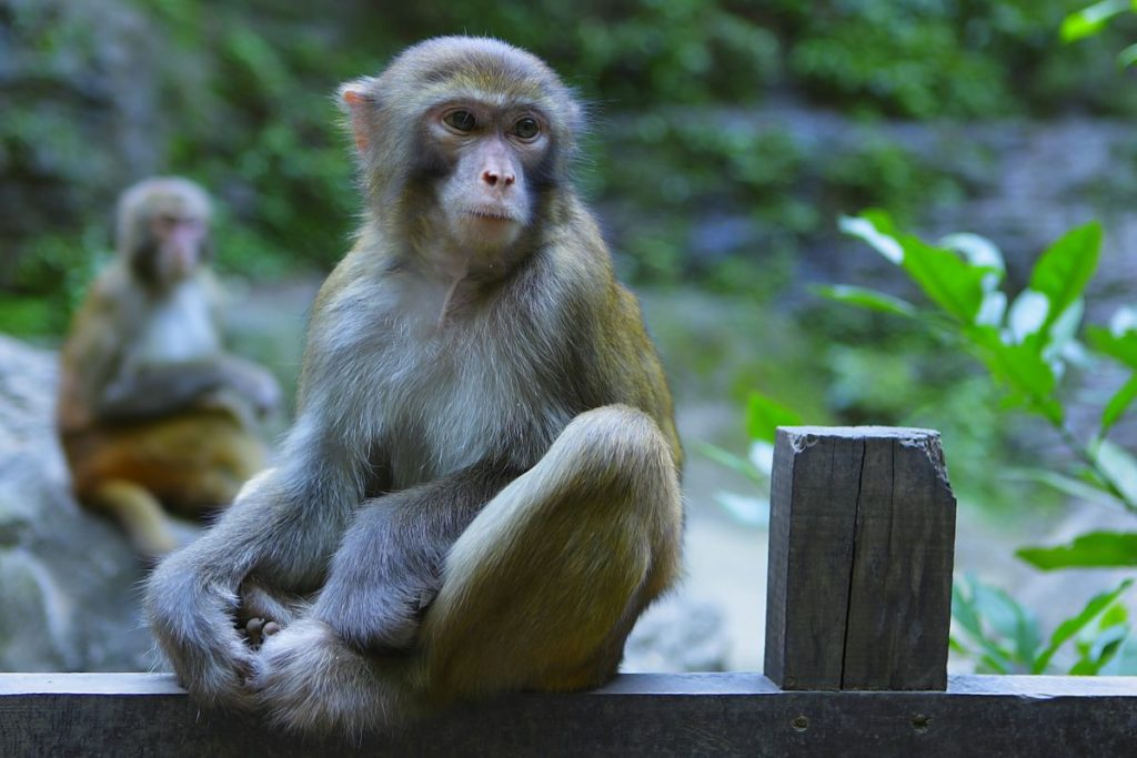 Three Gorges Macaque